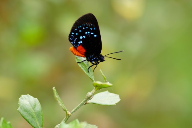 Cuban atala butterfly