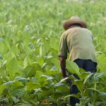 cuban farmer in tobacco field