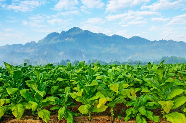 tobacco farm with mountains in the backgorund